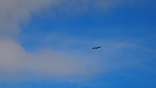 großer Greifvogel - leider war ich zu langsam mit der Kamera