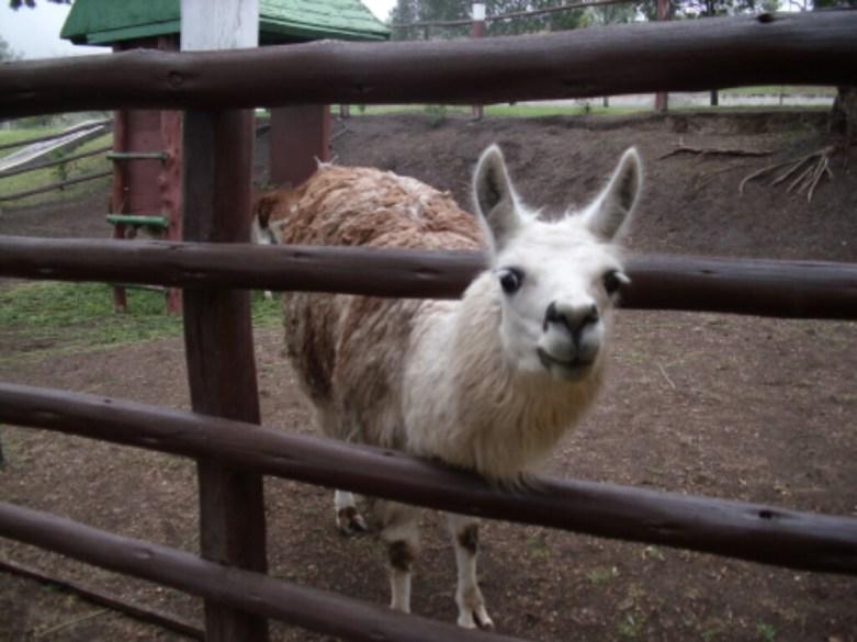 Ein Lama :)