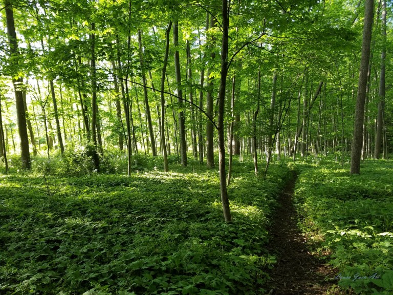 Photo of Sweedler Preserve in Ithaca NY by Laura Jaen Smith. Forest area with sunlight filtering through trees