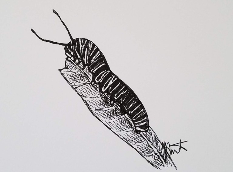 Caterpillar by Laura Jaen Smith. Black and white ink drawing of a striped caterpillar on a leaf