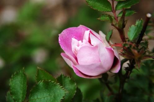 bullseye rose