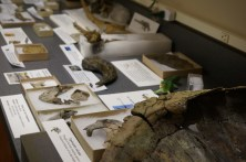 Fossils displayed at the Mantua Township open house on Feb. 19. Many of the fossils were excavated in Mantua, N.J. Scientists believe that the dig site could mark the end of the Cretaceous period nearly 65 million years ago. (Laura L. Calderone/MEDILL)