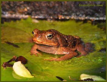 Golden Eyed Toad