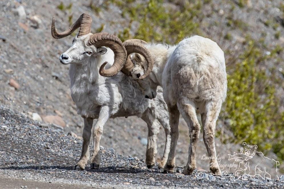 BLOGDall Sheep Denali National Park May 23 2016 1-12 EDITWEBSITE