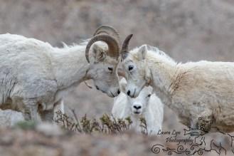 BLOGDall Sheep Denali National Park May 23 2016 1-4 EDIT