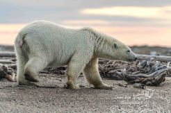 polar-bears-september-20-2016-9-of-62-waternark-blog