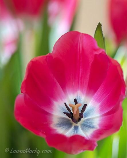 tulipdclose