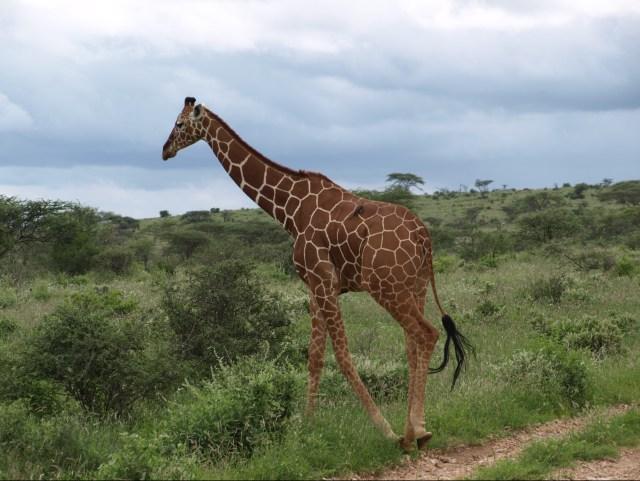 Reticuated Giraffe - A Samburu Special