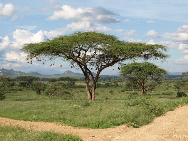Merry Christmas From Kenya - Acacia Tree adorned with Weaver Bird Nests