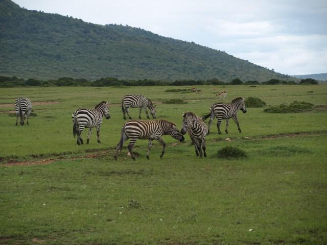 Zebras on the Masai Mara