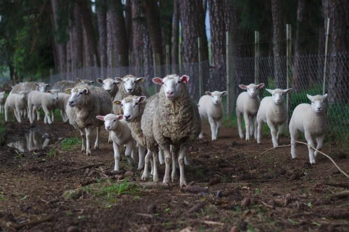 sheep, herd, pasture