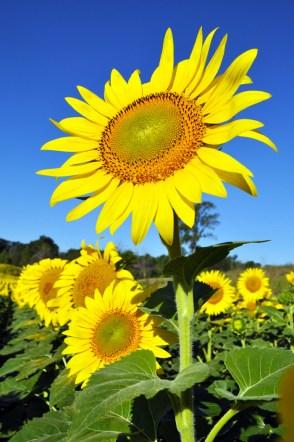 sunflowers-made-you-look-laura-miller-artist-livividli6-2