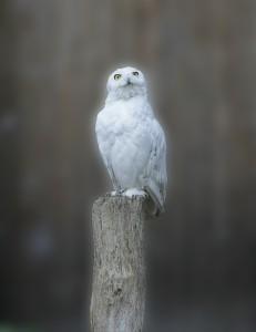 snowy-owl-449986_1280