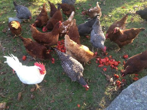 chickenseatingtoms