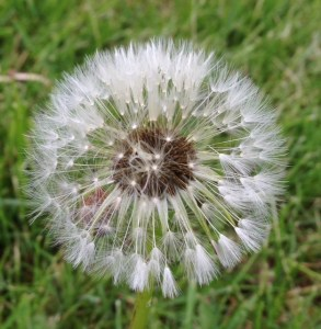 Dandelion [15 words or less poems]