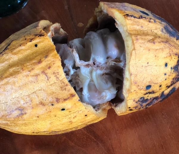 Costa Rica Choco plant