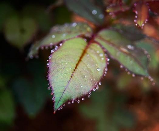 april-roseraindrops01