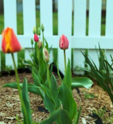 april-tulips02