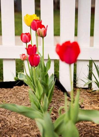 april-tulips03