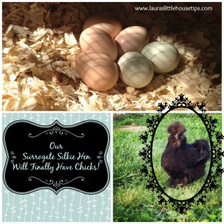 Our Surrogate Silkie Hen Will Finally Have Chicks!