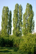 Poplars remind me of a certain fountain surrounded by trees, in the shade of which my grandfather and I drank water in torrid days long ago