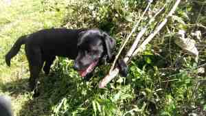Black Labrador puppy with one paw resting on branch upon brush pile.