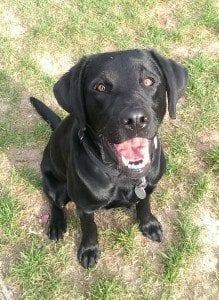black Labrador Mindy smiling at camera