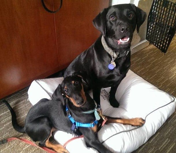Doberman puppy and Labrador Retriever on a cushy white dog bed