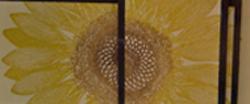 A Sunflower Shadowbox