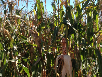 The-Indian-Corn