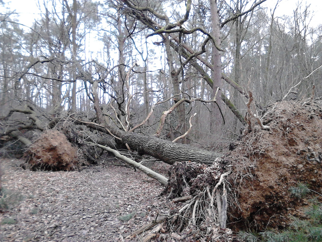 Huge oak and other trees fallen after the storm and tangled together. The root ball from the oak is visible and taller than a man.