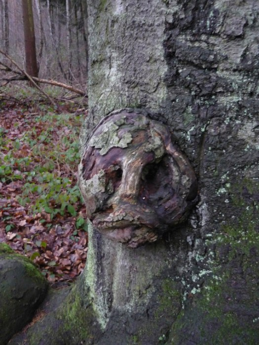Boundary marker tree with close up of carved face from the middle ages, Germany.