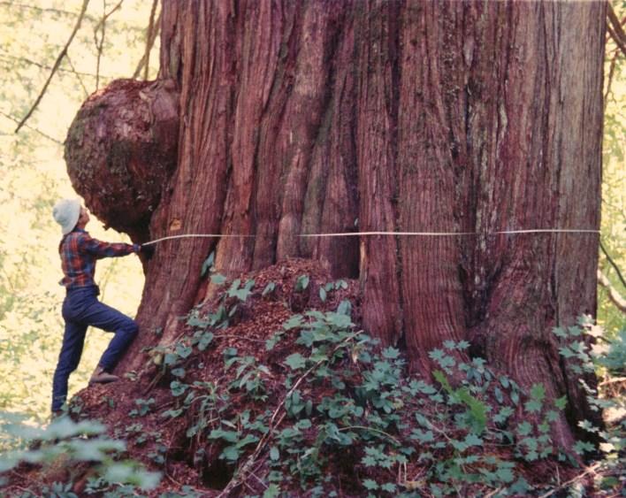 Margaret Miller measuring a giant cedar in Big Beaver valley