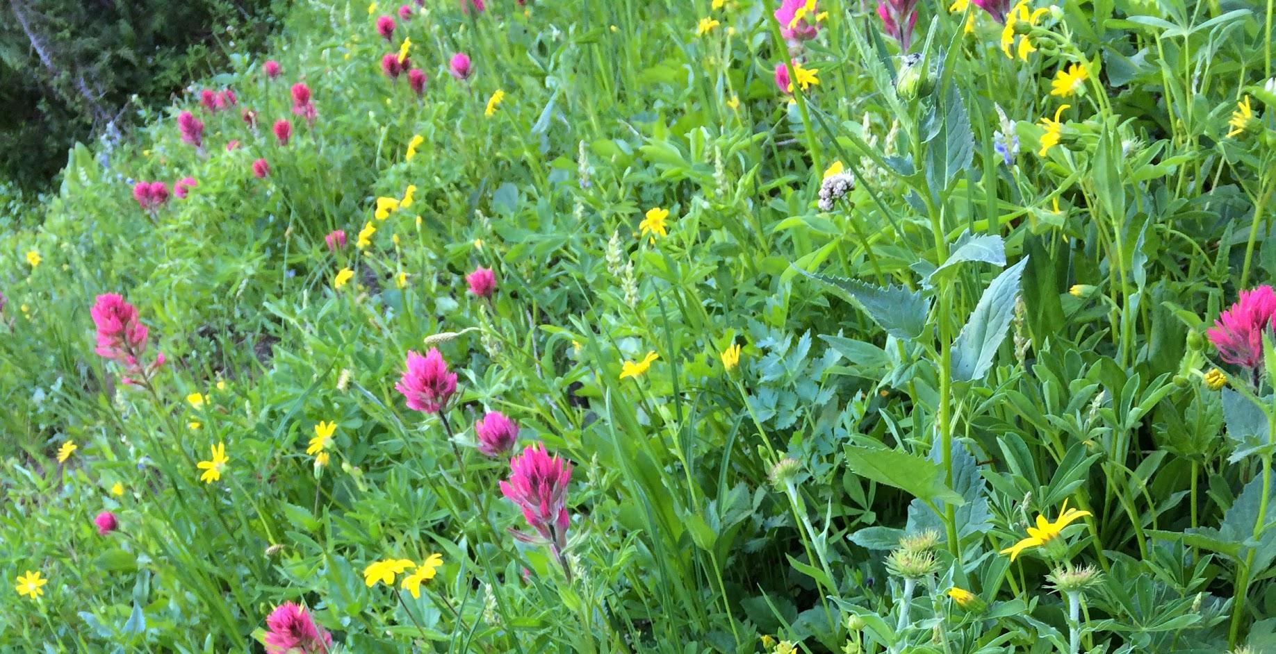 Wildflower park on Naches Peak