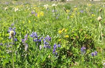 Wildflowers below Sourdough Gap (Lauren Danner photo)
