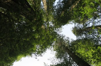 Looking up, and up, and up, at the redwoods.