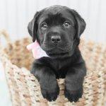Lab Puppies Styled Shoot Boston Dog Photographer Lauren Dobish Photography Blog