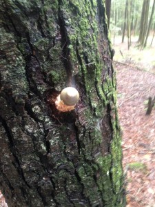 unfocused picture of stinkhorn on tree