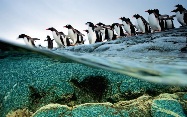 A group of penguins march into a clean ocean.