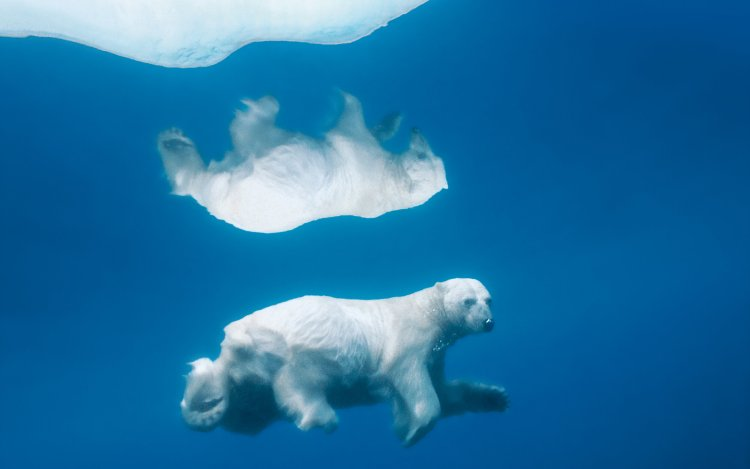 A single white polar bear swims in a clean sea.