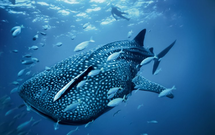 A whale shark swims amongst tiny fishes and clean water.