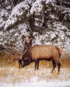 male elk on the side of the road in Jasper National Park, Pyramid Lake Road