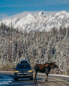 young male moose in the middle of the road in Jasper National Park stopping traffic, Maligne Lake Road
