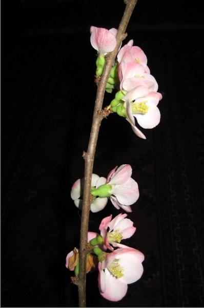 quince blossom stem5websize_0133