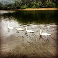 A family of swans