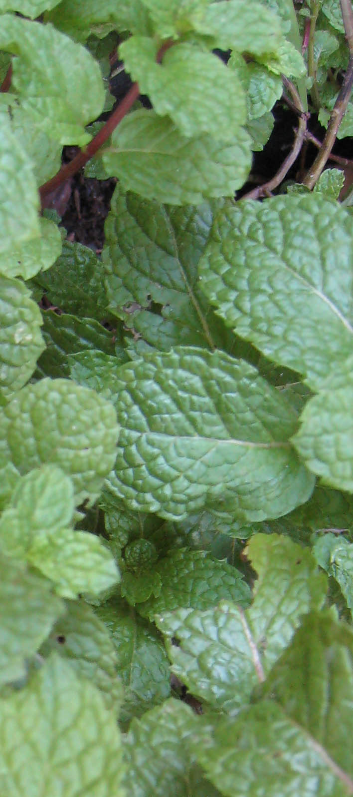 A cool sprig of mint ready to pluck.