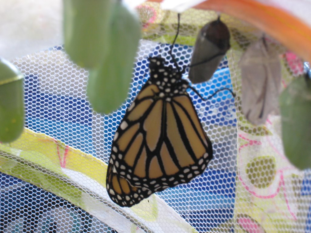 A brand new Monarch butterfly clings to a companion's chrysalis.