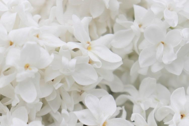 lilac-4250869_1920