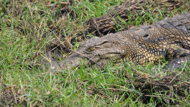 coccodrilli Parco Chobe
