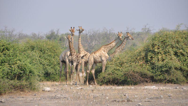 Giraffe Parco Chobe